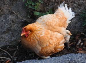 A 1989 city law added chickens to a ban preventing livestock from being kept as pets, and a Sacramento County law made it illegal for urban homeowners to have chickens on their property unless they had more than 10,000 square feet of property. (Photo courtesy)
