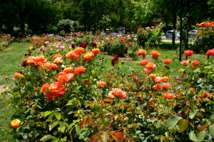Deep Roots: the McKinley Park Rose Garden has a rich history. / Valley Community Newspapers photo by Lance Armstrong