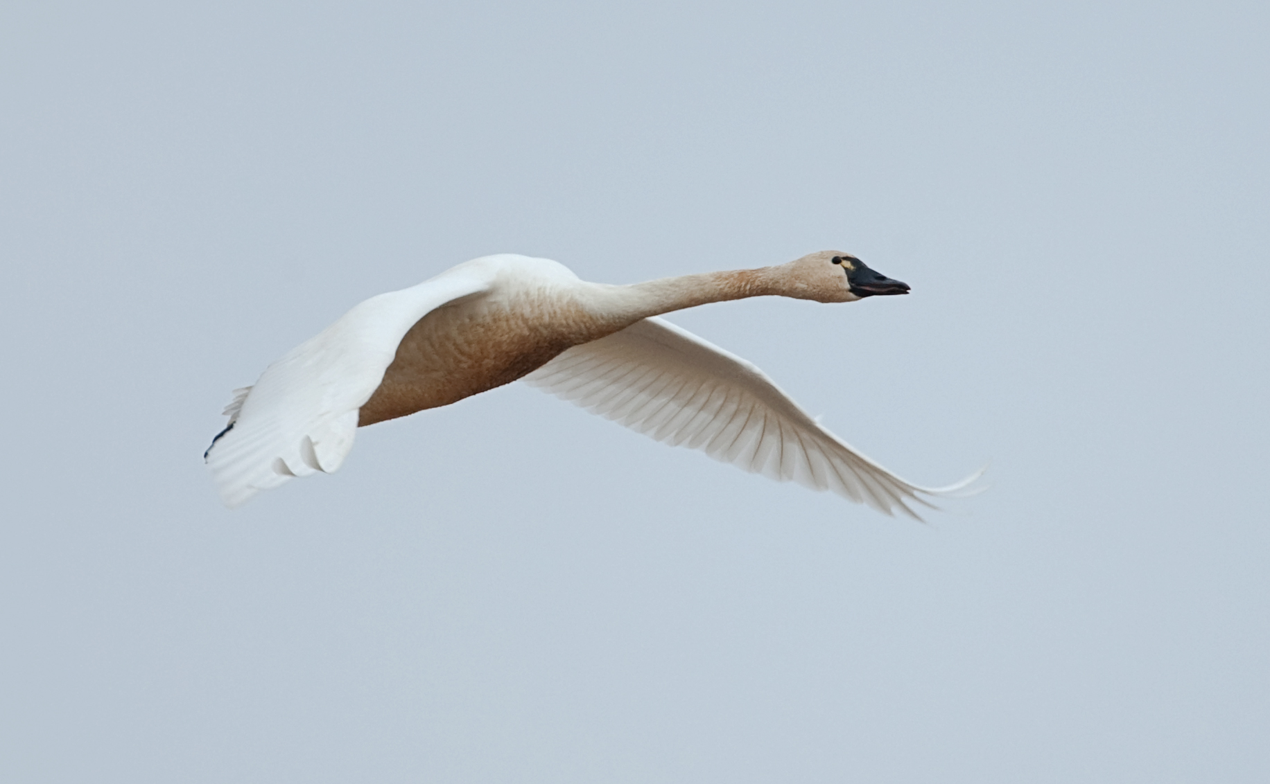 The wingspan of a tundra swan can be up to 22 inches  The birds have a    Tundra Birds