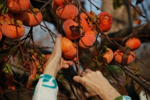 Volunteers from Harvest Sacramento will pick excess fruit from neighborhood backyards. The food is donated to local food banks. / Photo courtesy of Soil Born Farms