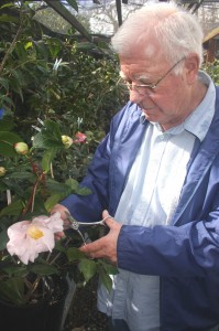 Don Lesmeister cuts a bloom from a camellia plant in his backyard's camellia room, which measures about 16 feet by 72 feet and includes about 225 camellia plants. / Valley Community Newspapers photo, Lance Armstrong