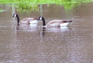 Canada geese enjoy a swim at Reichmuth Park following a recent storm. / Photo courtesy, Dolores (Silva) Greenslate