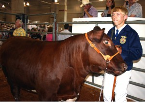 Galt FFA member Walt Hoyt stands alongside his 1,349-pound steer at the 2007 Sacramento County Fair. Livestock auctions are a tradition of the fair, which has been held in Sacramento since 1954./ Valley Community Newspapers photo, Lance Armstrong