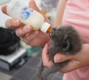 Chow time. During the spring kitten season, Happy Tails volunteers foster kittens in their homes. This little one is about three weeks old. / Valley Community Newspapers photo, Ellen Cochrane
