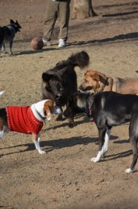 THE CANINE CORRAL dog park in Carmichael is a safe, fun place for dogs to socialize with other dogs. / Photo courtesy, Sarah Pratt