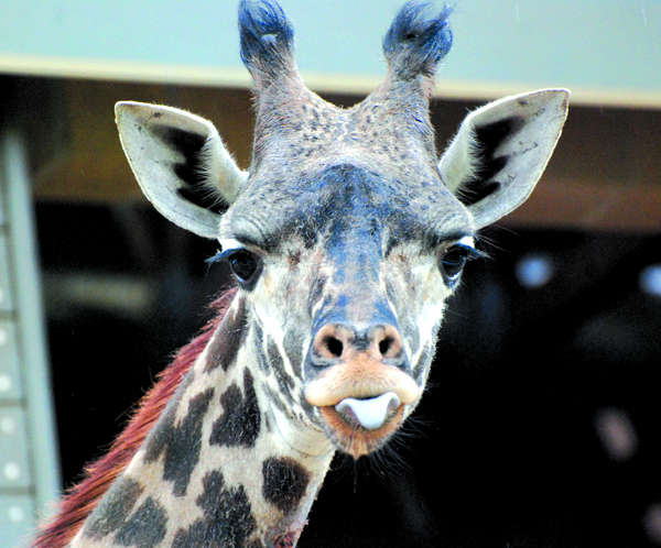The Sacramento Zoo has welcomed a new giraffe. Shani is a 2-year-old Masai Giraffe who came from the L.A. Zoo. She is now out exploring her new home and getting to know the rest of the herd. Shani can be seen with the Zoo's three female Reticulated Giraffes and young male Masai Giraffe at the Tall Wonders Giraffe Habitat. // Tonja Swank/Special to the Land Park News