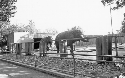 Elephants roam an area at the zoo in this c. 1955 photograph. These large animals are among some of the zoo's earlier types of animals that are no longer a part of the zoo. Photo courtesy of the Sacramento Zoo