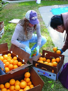 Last year, was the first neighborhood citrus harvest in Tahoe Park. More than 60 volunteers harvested fruit from 24 tree sites throughout the neighborhood! The TCC was instrumental in helping gather more than 2,500 pounds of fruit for donation to Sacramento Food Bank and Family Services. Photo courtesy