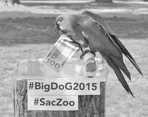 Julia the Thick-billed Parrot was the spokesbird for the Sacramento Zoo's Big Day of Giving campaign.