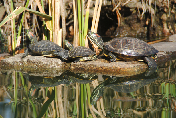 """Turtle territory: """"Turtle lady"""" and park volunteers discuss city park ponds and the future of the popular reptilian residents"""
